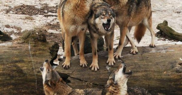 The Call of the Wild Wolves