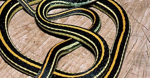 Eastern Ribbon Snake Snake North American Wildlife Reptile Snakes