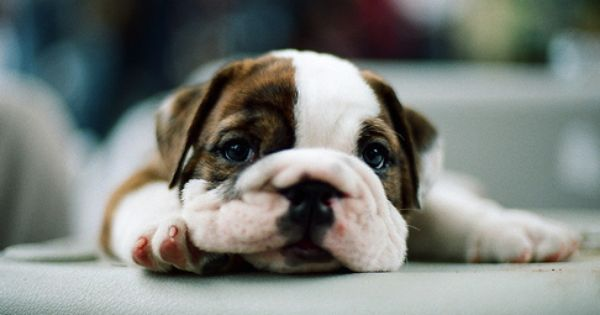 Pin By Tessa Lovvorn On Pets Cute Puppies Bulldog Animals