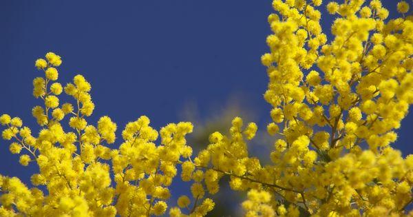 im winter bl hen auf sizilien die mimosen sonne tanken auf sizilien mit diesen reisetipps. Black Bedroom Furniture Sets. Home Design Ideas