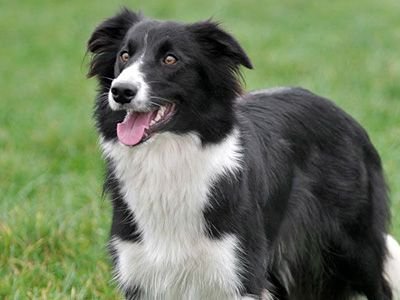 Border Collie Price Temperament Life Span Collie Dog