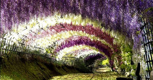 Wisteria Tunnel is located at the Kawachi Fuji Gardens in Kitakyushu, Japan.