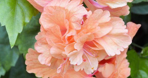 triple hibiscus in pink | Pretty flowers, Flowers, Hibiscus |Triple Hibiscus