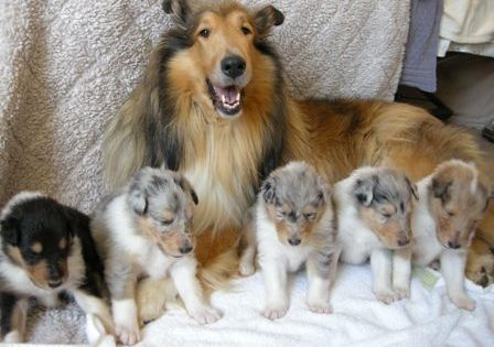 Rough Sable Collie With Her Tri Colored And Blue Merle Puppies Rough Collie Puppy Puppy Litter Rough Collie