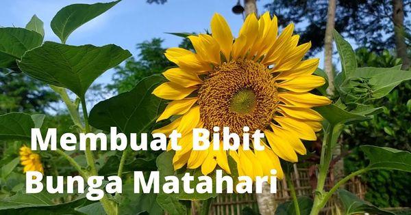 Pin By Cibodas Farm On Cibodas Farm Sunflower Plants Flowers
