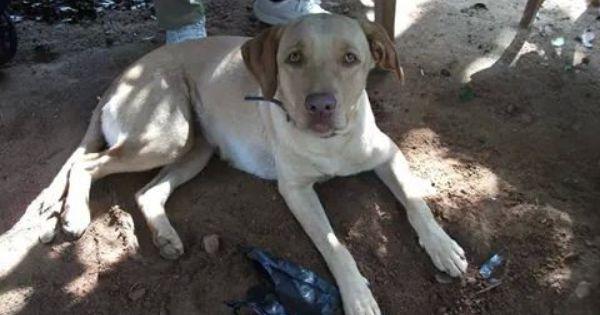 Karl S Lab Epitome Of Affection Labrador Retriever Labrador Dogs