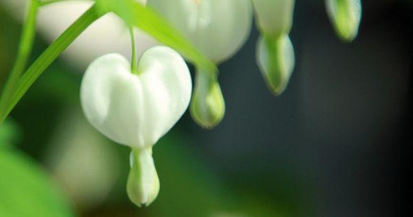 White Bleeding Hearts. Such a pretty flower