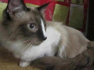 Frost Is An Adoptable Himalayan Cat In Indiana Pa He Adopted Out