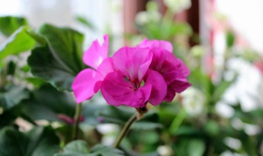 True gardeners are always thinking ahead trying to maximize the bloom and beauty from every - Overwintering geraniums tips ...