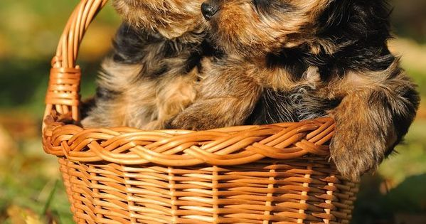 All About Yorkie Names For Male And Female Yorkshire Terriers