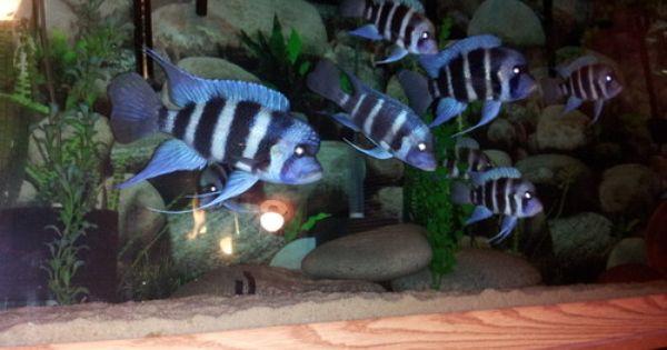 Frontrosa Cichlids Aquarium Fish Aquarium Fish For Sale Freshwater Aquarium Fish