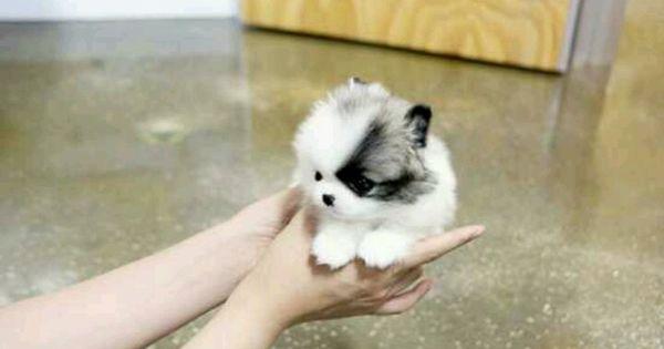OH MY GOSH CUTE LITTLE FLUFFY PUPPY ♥ Puppies