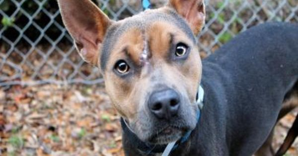 Lily Is A 1 Year Old Australian Cattle Dog Staffordshire Terrier
