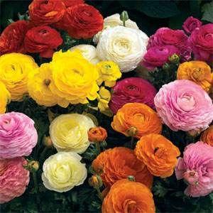 Ranunculus Seeds Persian Buttercup Mix Flower Seed Persian Buttercup Flower Seeds Early Spring Flowers