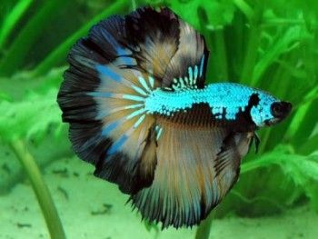 Betta Fish Siamese Fighting Fish Ornamental Fish Betta Fish Betta Betta Aquarium