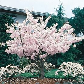 24 5 Gallon Multicolor Yoshino Cherry Flowering Tree In Pot With Soil L3234 At Lowes Com Flowering Trees Flowering Cherry Tree Potted Trees