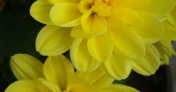 Chrysanthemums Natureza
