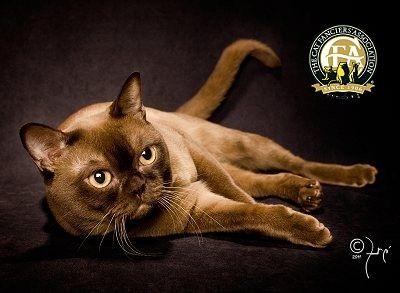 Breed Profile The Burmese Burmese Kittens Burmese Cat Cat Breeds