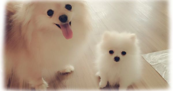 Teacup Dogs Are Miniaturized Versions Of Already Small Breeds Generally Weighing Four Pounds Pomeranian Puppy Teacup Pomeranian Puppy Micro Teacup Pomeranian