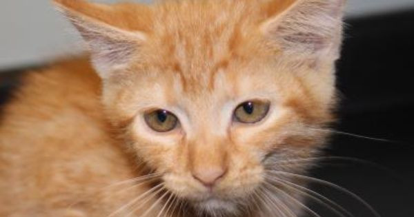 Meet Stewart A Petfinder Adoptable Domestic Short Hair Cat Greenville Sc Petfinder Com Is The World Rsquo S Largest Database Of Short Hair Cats Pets Cats