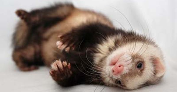 Pin By Nichole Samuel On Funny Ferrets In 2020 Pet Ferret Baby Ferrets Cute Ferrets