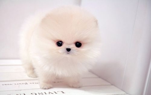Pomeranian teacup puppies are so adorable