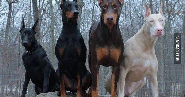 All colors of Dobermans | Dobermans, Doberman dogs and Dog