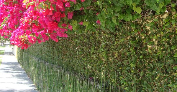 This Bamboo Used Fence Bougainvillea