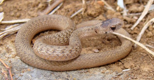 Facts About Brown Snakes | Snake, Reptiles and Amphibians  Tubercle Snake