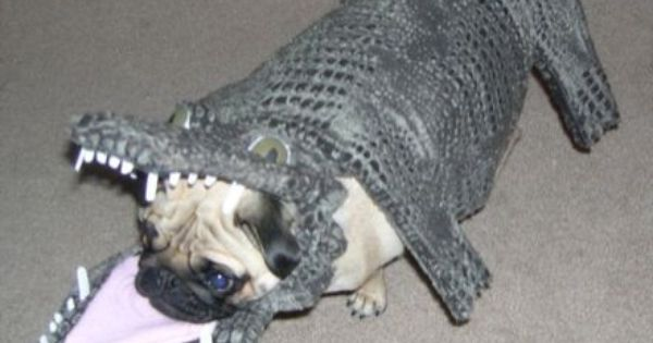 Is This A Dog In An Alligator Costume Or Did An Alligator Eat A