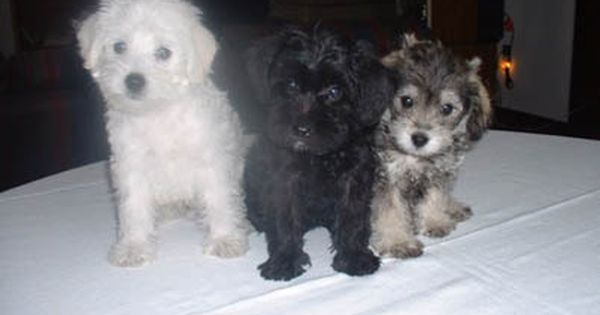Countryside Schnoodles The Best Of Schnauzers Poodles Maltese Poodle Schnoodle Dog Adoption