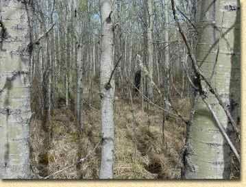 How To Find Diamond Willow Sticks Willow Sticks Willow Tree Willow