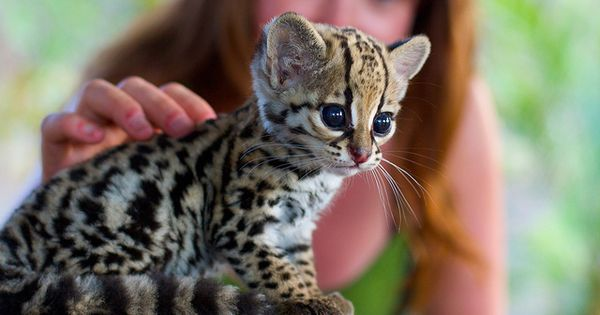 Cutie Pie! Baby Ocelot kitten.