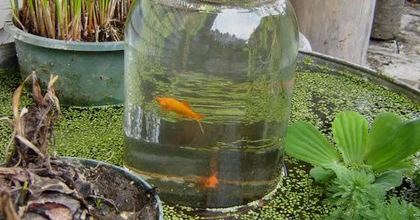 "Fish ""Tower"" - Add a Glass Jar Tower to your water garden"