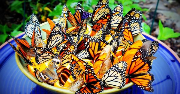 A little bowl containing orange slices attracts Monarch Butterflies in droves; not