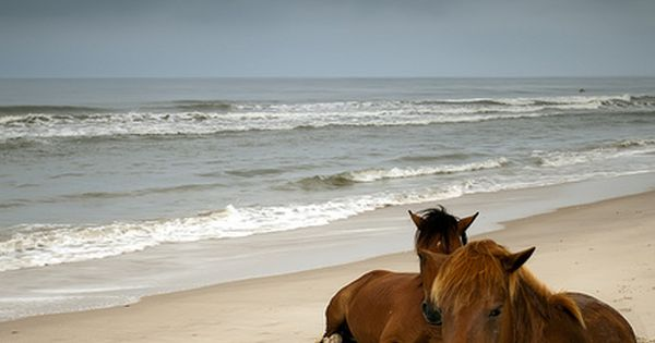 Wild Horses resting by the ocean on a beach