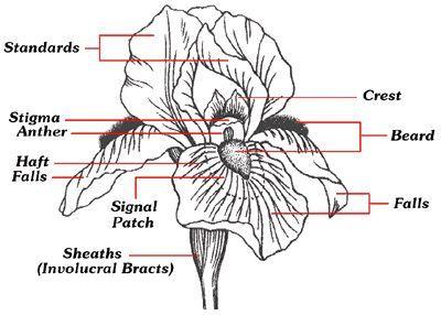 Iris Bloom Diagram Rainbow Iris Farms Iris Farms Flower Structure Iris Flowers