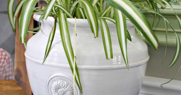 Post On Safe Indoor Plants For Cats Spider Plant Safe For