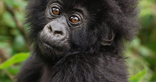 Baby Gorilla, Uganda by Tim Henshall: Half of the world's last remaining
