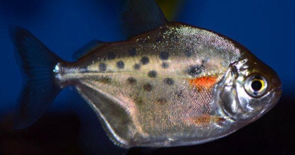 Other Spotted Silver Dollar Metynnis Maculatus Tropical Fish Tanks Fresh Water Fish Tank Tropical Fish Aquarium
