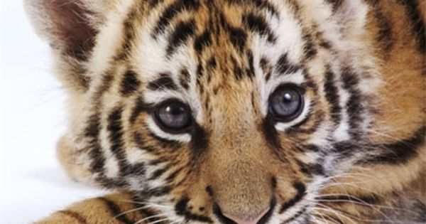 Cute Tiger Cub | Cutest thingz ever | Pinterest | Tiger ...