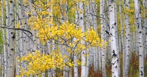 Birch trees mural for the home pinterest birch tree for Birch tree wallpaper mural