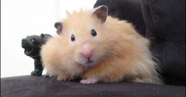 Long Haired Hamsters Teddy Bear Hamster Bear Hamster Pets