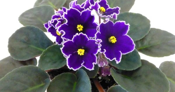 Hawaii Ii Series Island Series Pot Size 4 Inch Medium Standard Bloom Type Star Bloom Color Bi Color Purple With A White Edge L Senpoliya Komnatnye Cvety Cvety