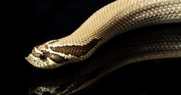 Superconda Hognose Hognose Snake Western Hognose Snake Snake