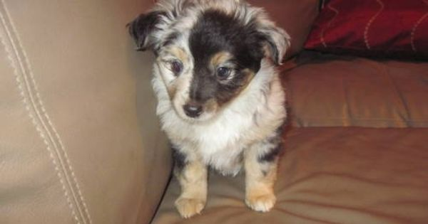 Mini Aussie Puppies For Sale Mini Toy Aussie Puppies For Sale In