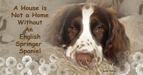 Love This English Springer Spaniel Springer Spaniel Springer Dog
