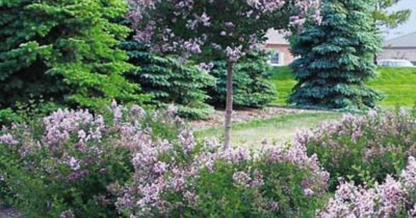 james-macfarlane-lilac