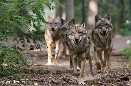 wölfe kennenlernen)