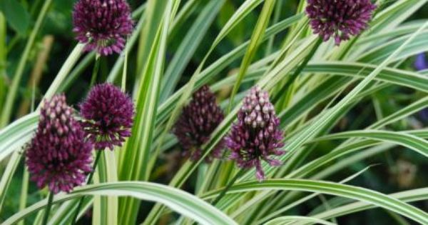 Guide to common names of ornamental grasses like dwarf for Common ornamental grasses